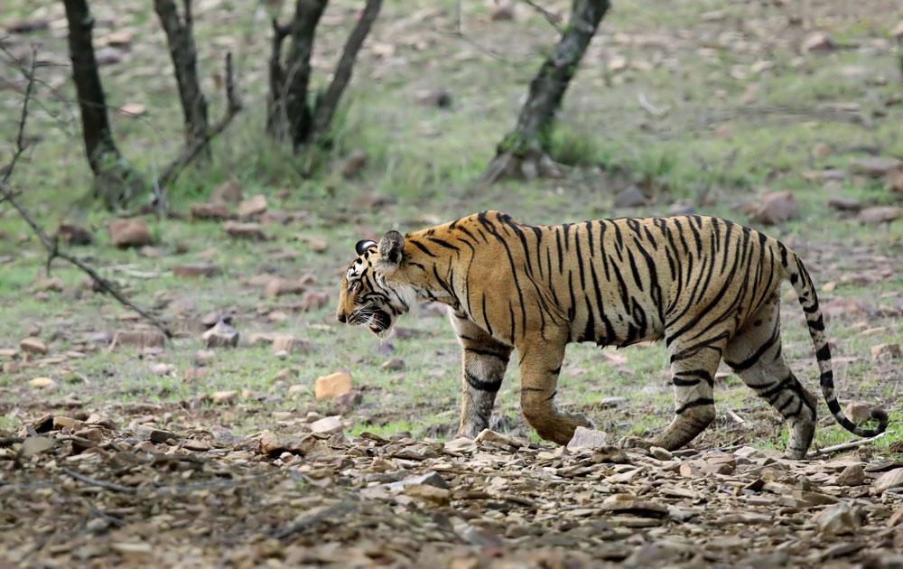 Save bengal tiger
